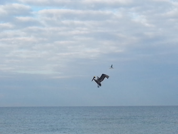 pelican florida