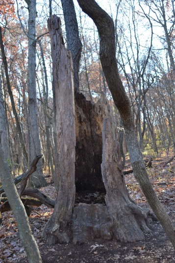 I may or may not have stepped into this hollow tree trunk...
