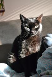 othello black cat caturday
