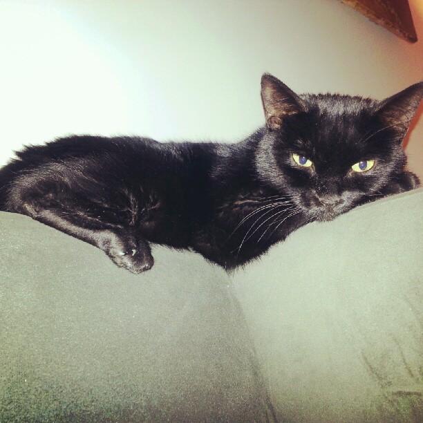 othello black cat
